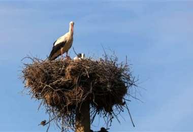 El nido en plena chimenea. Foto Internet