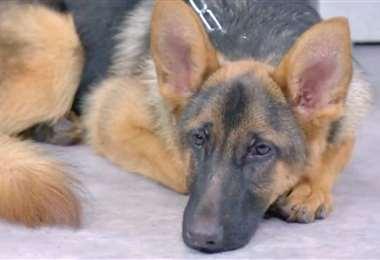 Foto ilustrativa de un perro pastor alemán