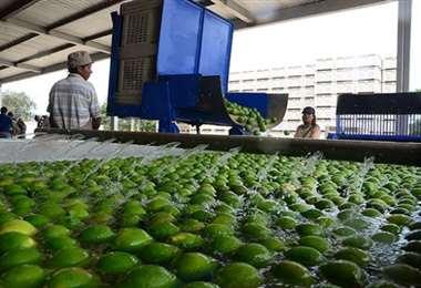 Totaí Citrus suspenderá actividades en su área de industrialización por fuerza mayor