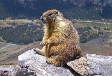 Una marmota fue consumida cruda. Foto Página 12