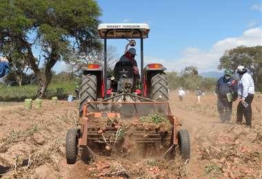 Edil Durán, compartió su logro en el día de cosecha en su propiedad en Samaipata / Foto: Gobernación de Santa Cruz