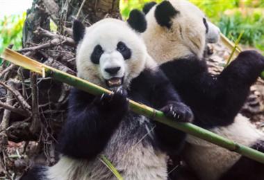 La pareja de pandas en el zoo de Calgary. Foto Internet