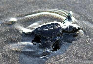 Una tortuga negra se dirige al Pacífico desde una playa de Guatemala. Foto AFP