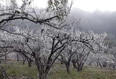 El extremo frío daño los árboles de manzana y duraznos