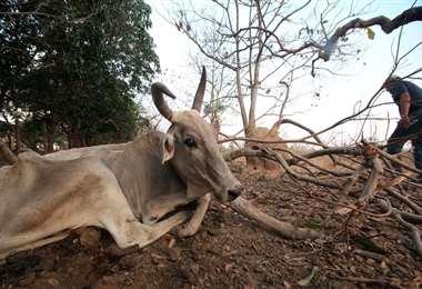 La falta de agua está afectando a los ganaderos y productores (Foto: EL DEBER)