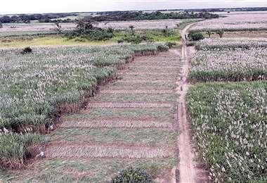 La frontera agrícola cañera registra más de 164.000 hectáreas. Foto: Fuad Landívar