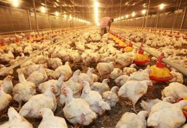 El sector avícola se vio afectado por el escenario de subida de precios. Foto: EL DEBER