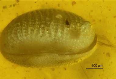 El crustáceo en el ámbar. Foto Internet