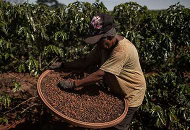 Brasil tuvo una gran cosecha de café. Foto Internet