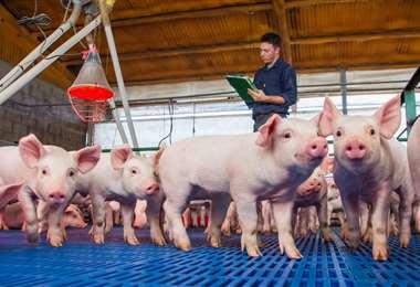 Crianza de cerdos en Argentina. Foto Internet