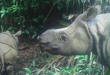 Lutero (izq.), una de las crías de rinoceronte. Foto AFP