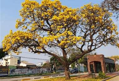 Tajibo con flores amarillas, que florecen en septiembre en Santa Cruz