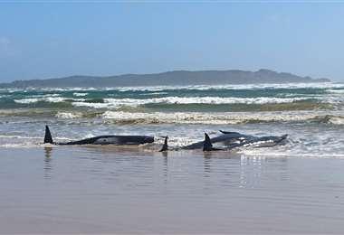 Ballenas varadas en playas de Australia. Foto AFP