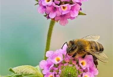La naturaleza viva se muestra en una abeja polinizadora. Foto. G. Córdova