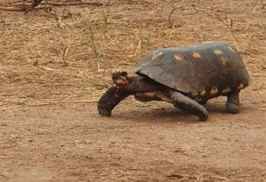 Tortuga rescatada en Copaibo