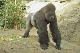 Malabo, un gorila de más de 200 kg. ataco a una cuidadora del zoo de Madrid