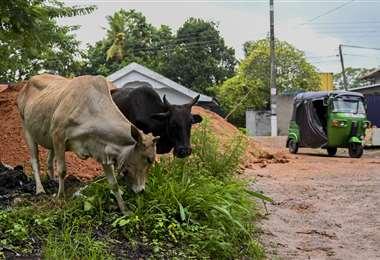 Dos vacas pastan en las afueras de Colombo, capital de Sri Lanka. Foto AFP
