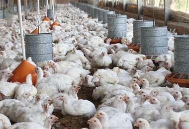 Avicultores advierten riesgo de cierre de granjas