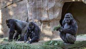 Dos gorilas de zoológico en el oeste de EEUU dan positivo al Covid-19
