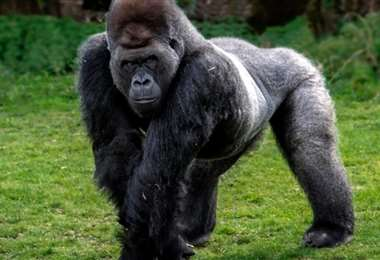 Los estudios han demostrado que algunas especies de primates pueden contraer el virus