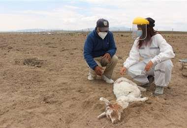 El animal atacado sin vida. Foto Rodrigo Martínez