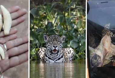 Tráfico de partes de jaguar en Bolivia