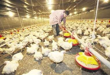 La falta de harina solvente de soya pone en riego la actividad productiva avícola