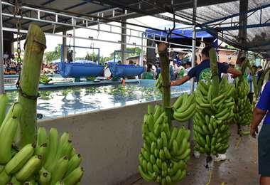 Las exportaciones de bananas crecieron un 25%/Foto: ABI