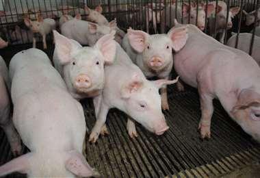 La lucha contra la peste porcina clásica está en su fase final (Foto: Internet)