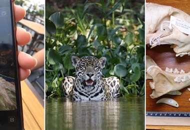Tráfico de colmillo de jaguar en Bolivia | Foto: Mongabay