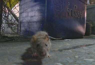 En un Londres confinado, las ratas pierden la timidez
