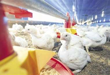 Altos precios de insumos impactan en la producción avícola. Foto Fuad Landívar