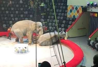 Una de las elefantas fue noqueada