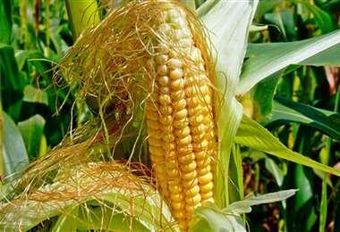 Esta es la mazorca del maíz con su pelo, que es un elemento saludable