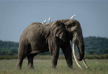 Tolstoy, un elefante de 49 años que habita en Kenia/Foto: AFP