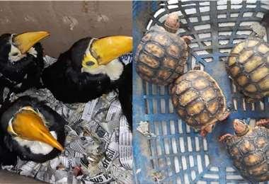 Pichones de tucán y tortugas pequeñas estaban en posesión de la traficante