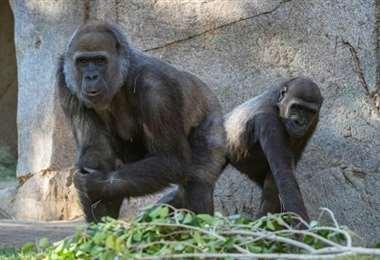 Primates de un zoológico de EEUU vacunados contra el covid-19