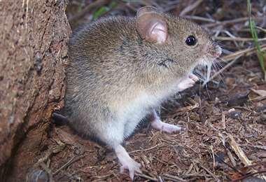 El arenavirus es producido por las heces y orinas de un roedor.