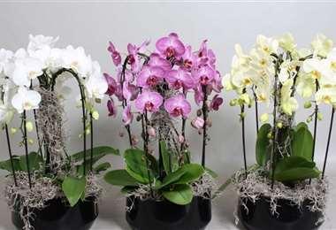 Keikis es la organización de cultivadores de orquídeas que lleva a cabo esta muestra