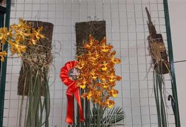 Esta es la Trichocentrum Stacyi que ocupó el primer lugar en la categoría nativa