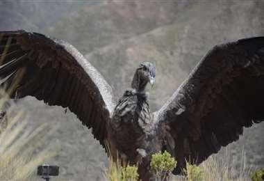 El cóndor andino fue liberado el fin de semana en el altiplano paceño