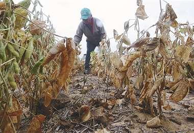 La biotecnología ayuda a los pequeños productores a enfrentar los cambios climáticos