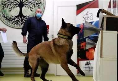 Perro adiestrado para detectar una compresa impregnada de sudor de una persona infectada