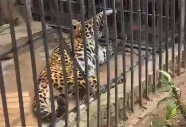 El jaguar fue recibido en marzo de 2013 en el zoológico. Foto: RR.SS.