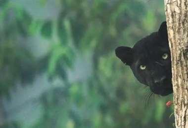 Podría ser un joven leopardo negro o una pantera