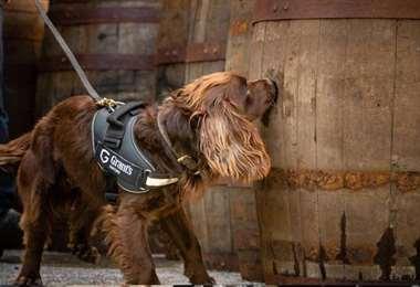 Es un perro trabajador y no una mascota