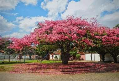 Estos hermosos árboles forman parte del paisaje urbano de Santa Cruz