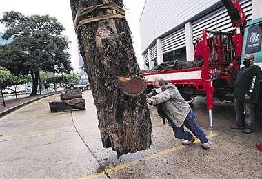 Juan Bustillos ayuda a bajar uno de los troncos