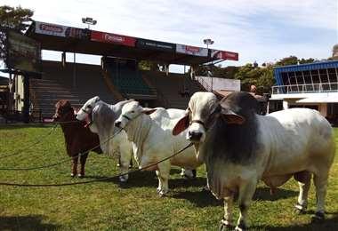 Bovinos bolivianos de alta genética raza brahman (Foto: Asocebu)
