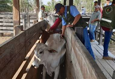 La vacunación se realizará en las principales zonas productoras/Foto: ABI